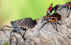 Cover photo for Early Detection of the Spotted Lanternfly Is Critical