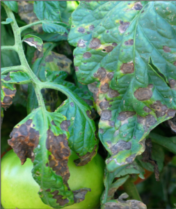 Cover photo for Tomato Diseases