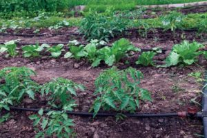 Cover photo for Drip Irrigation