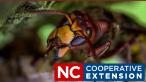 Cover photo for Identifying Large Hornets