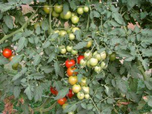 tomato field day