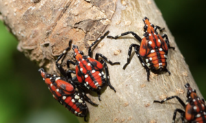 Cover photo for 4-H'ers and Other Youth Can Help Spot the Spotted Lanternfly